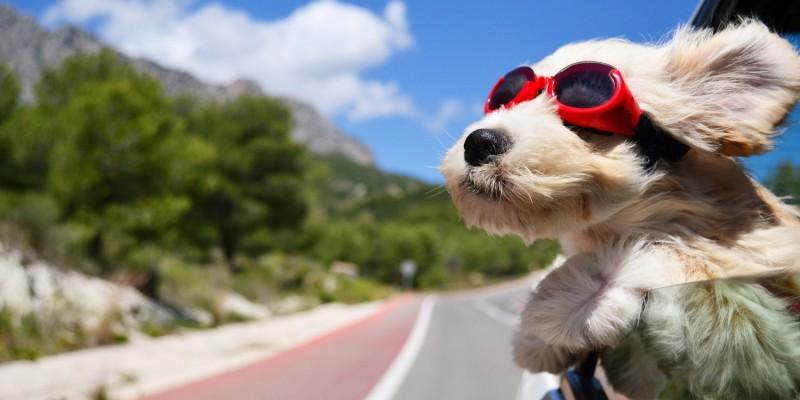 Hund bei der Fahrt im Auto